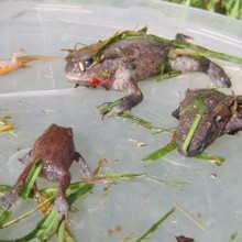 Amphibians in Drains Project
