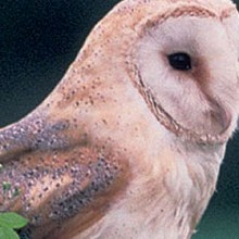Online Barn Owl Survey