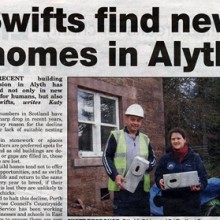 Swifts In Alyth