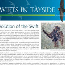 Swifts In Tayside – 3