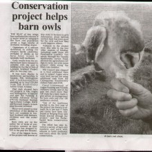 Conservation Project Helps Barn Owl