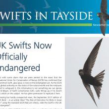 Swifts in Tayside – 4