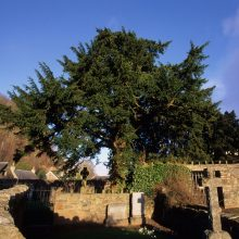Fortingall Yew and Church Yew Project 2019