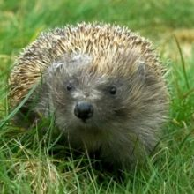 Mind the Gap Hedgehog Project – The Courier